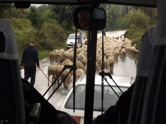 Jak to w górach bywa, owiecki na drodze