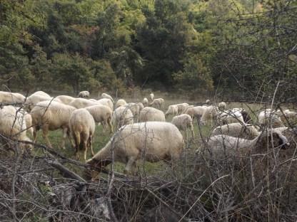 Owieczky bez pasterza