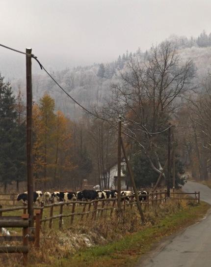 Wieścicszowice cows