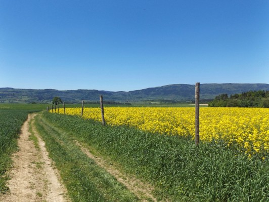 ...i piękne pola pełne rzepaku.