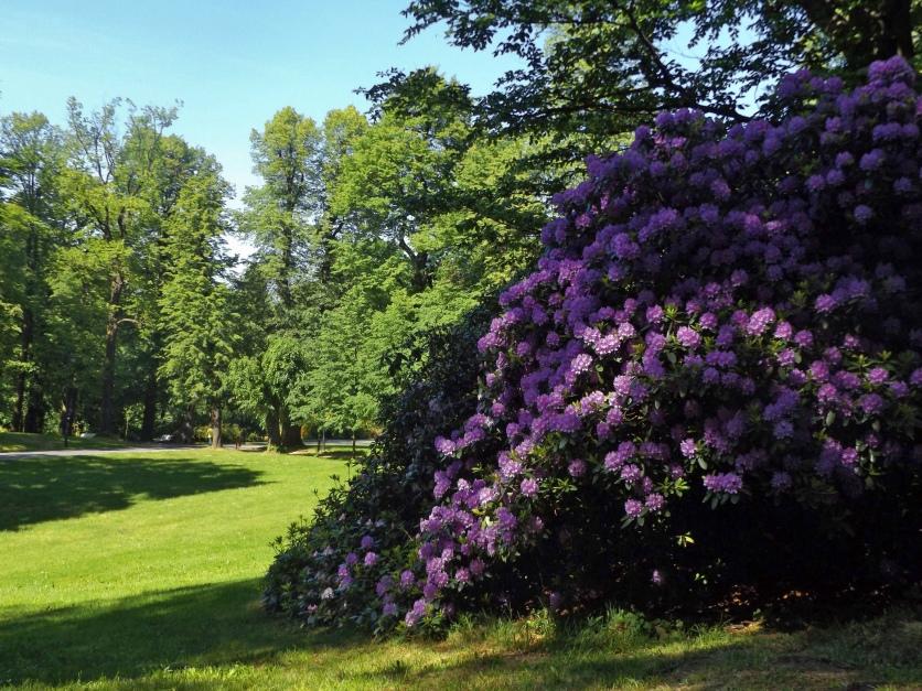 Inwazja rododendronów.